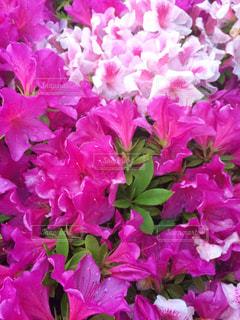 花,屋外,ピンク,ツツジ,朝露,flowers