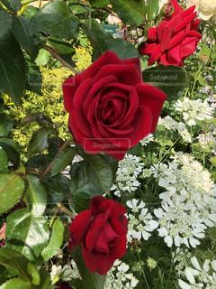 薔薇が咲いた🌹の写真・画像素材[1367862]