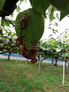 近くに果物の木からぶら下がってアップの写真・画像素材[1367495]
