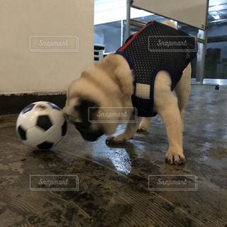 犬,パグ,スポーツ,ペット,サッカー,日本代表,ボニー