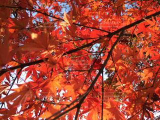 自然,秋,紅葉,赤,樹木,栃木県,秋空,モミジ