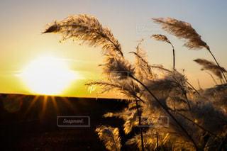 日没の前にツリーの写真・画像素材[1278914]