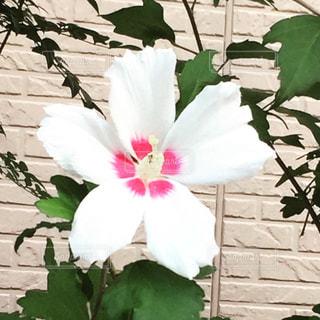 植物の白い花の写真・画像素材[1369592]