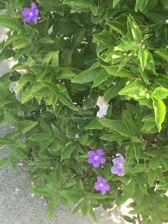 紫の花の写真・画像素材[1419548]