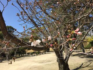お寺で咲き始めていた桜の写真・画像素材[1871506]