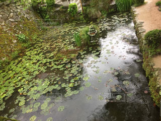 池の蓮の写真・画像素材[2170114]