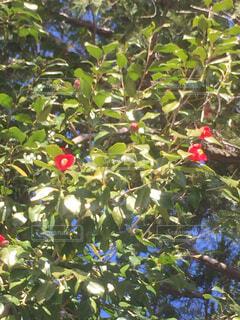 花,屋外,緑,椿,樹木,リラックス,おうちカフェ,グリーン,ドリンク,つばき