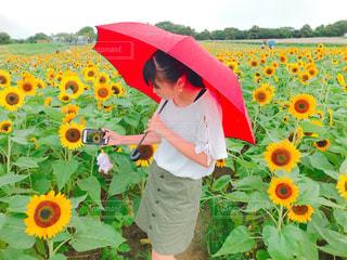 ひまわり畑の写真・画像素材[1393943]
