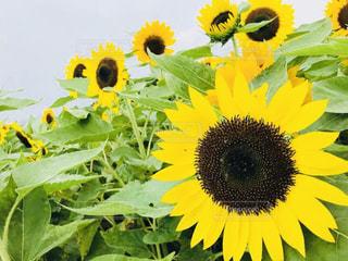 夏,ひまわり,黄色,向日葵,旅行,イエロー,ひまわり畑,淡路島,きいろ,yellow