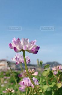 れんげの花♪の写真・画像素材[1885811]