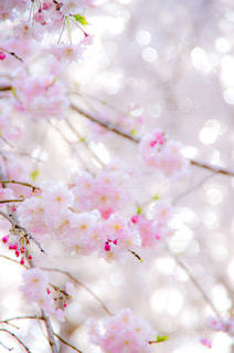 お花見♪の写真・画像素材[1970514]