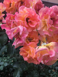 ピンク,バラ,初夏,花盛り