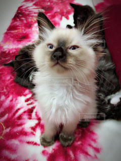 ベッドの上で横になっている猫の写真・画像素材[1283744]