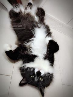 猫の黒と白の写真の写真・画像素材[1284002]