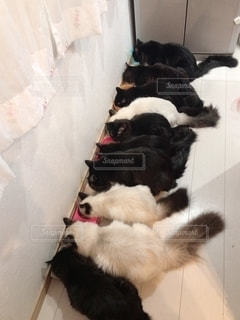 床に横たわる白と黒の犬の写真・画像素材[2334252]