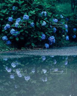 水たまりに映る紫陽花の写真・画像素材[2223816]