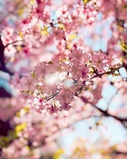 太陽と桜の写真・画像素材[4183902]