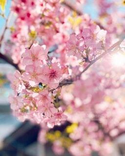 太陽と桜の写真・画像素材[4183914]