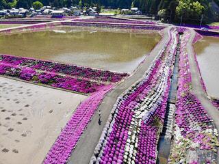 桜,ピンク,シバザクラ,ドローン,思い出,平成