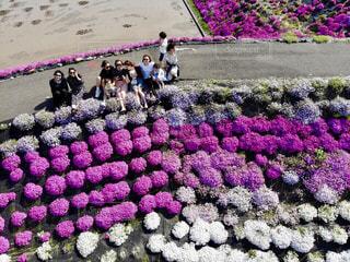 夏,桜,ピンク,太陽,海岸,シバザクラ,ドローン,思い出,平成