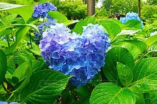 ハート形の紫陽花の写真・画像素材[1371317]