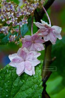 雨上がりの紫陽花の写真・画像素材[2183881]
