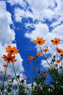 空に向かって伸びるキバナコスモスの写真・画像素材[2413607]