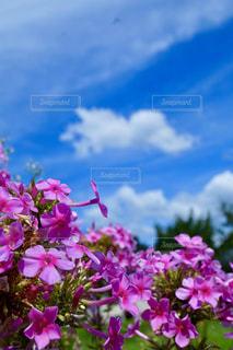 オイランソウのピンク色、青い空、白い雲のコラボの写真・画像素材[2448841]