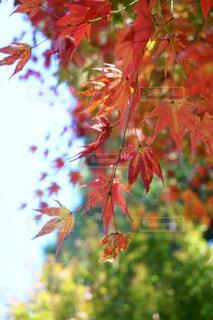 休日午後の光り輝く紅葉の写真・画像素材[2510697]