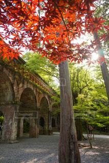 太陽の光を浴びる水道橋と紅い葉の写真・画像素材[2511315]