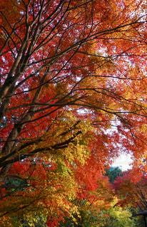 赤、黄、緑の森林の中の写真・画像素材[2511320]