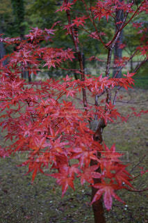 雨の公園で真っ赤に染まった紅葉の写真・画像素材[2611057]