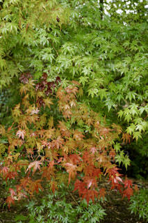 青いモミジの葉が赤に染まる頃の写真・画像素材[2611092]