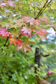 静かな森の中で始まる紅葉の写真・画像素材[2613133]
