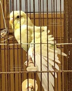 止まり木で羽を広げるインコの写真・画像素材[2701370]