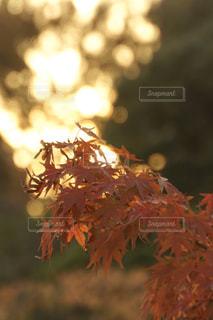 竹林越しにもみじを照らす太陽の写真・画像素材[2857218]