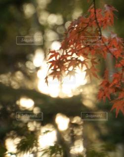 柔らかな夕方の太陽光とカエデの写真・画像素材[2857215]