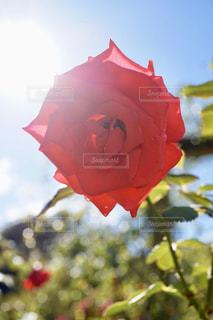 自然,空,花,屋外,太陽,赤,バラ,光,草木
