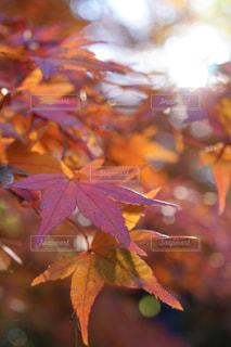 空,秋,太陽,赤,葉,光,樹木,旅,カエデ