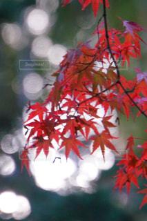 空,秋,太陽,赤,葉,光,樹木,玉ボケ,カエデ