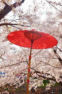 空,桜,傘,屋外,太陽,赤,鮮やか,光,満開,美しい,樹木,和傘,映え