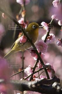 梅ジロウと枝垂れ梅の写真・画像素材[3020738]