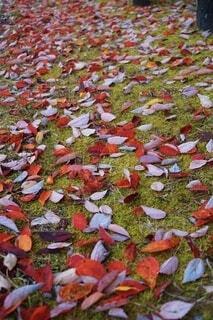 落ち葉のじゅうたんの写真・画像素材[3718956]