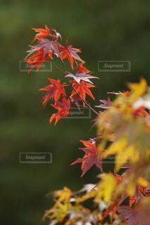 撮れたての紅葉の写真・画像素材[3803696]