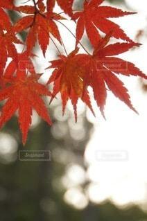 光を浴びる紅葉の写真・画像素材[3803788]