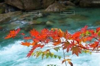 清流に映える赤い紅葉の写真・画像素材[3803833]