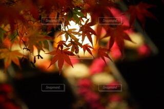 灯りに映えるもみじの葉の写真・画像素材[4008863]