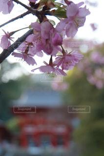 近江神宮の河津桜の写真・画像素材[4235421]