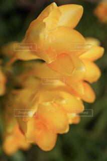 幸せを呼ぶ黄色のフリージアの写真・画像素材[4300152]