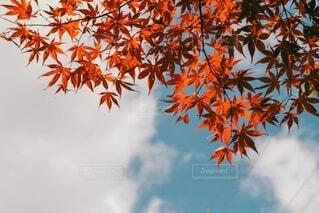晴れた空ともみじの写真・画像素材[3805982]